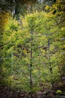 Buche - Carpinus Betulus Fastigiata